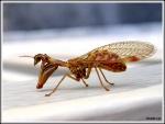 galerie-membre,mantispe,drole-d-insecte-2088