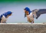 Bagarre birds1