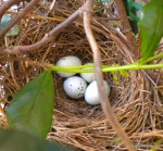 four-bird-eggs-in-nest-1