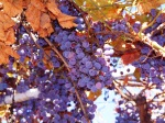 1 Concord_Grapes_on_vines