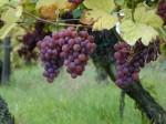 1 Gewurztraminer_-_raisins_sur_pied_de_vigne