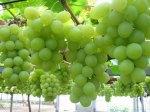 الزراعة-العضوية-في-العنب1