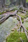 tree w62