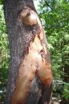 woman_tree n