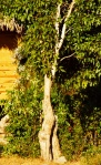 woman_tree31