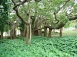 fig-tree-in-brisbane-botanic-garden-brisbane-australia